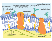 Cell Surface Membranes