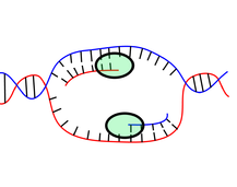 Replication, Transcription, and RNA