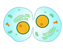 Organize the Events of the Cell Cycle and Mitosis