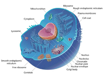 The Cell Theory and Organelles